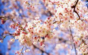 Cherry-Blossom-300x189